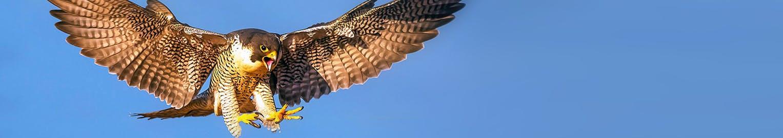 Peregrine falcon lands