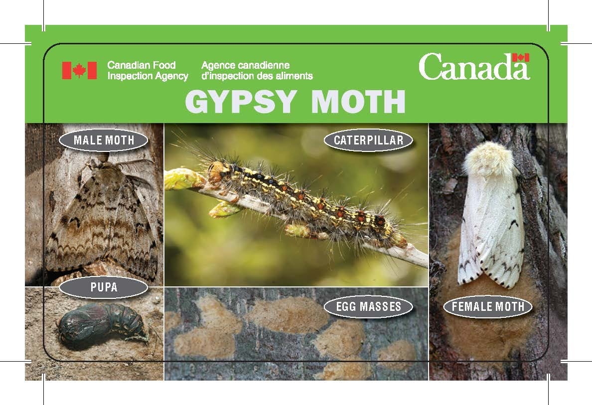 European gypsy moth lifecycle stages