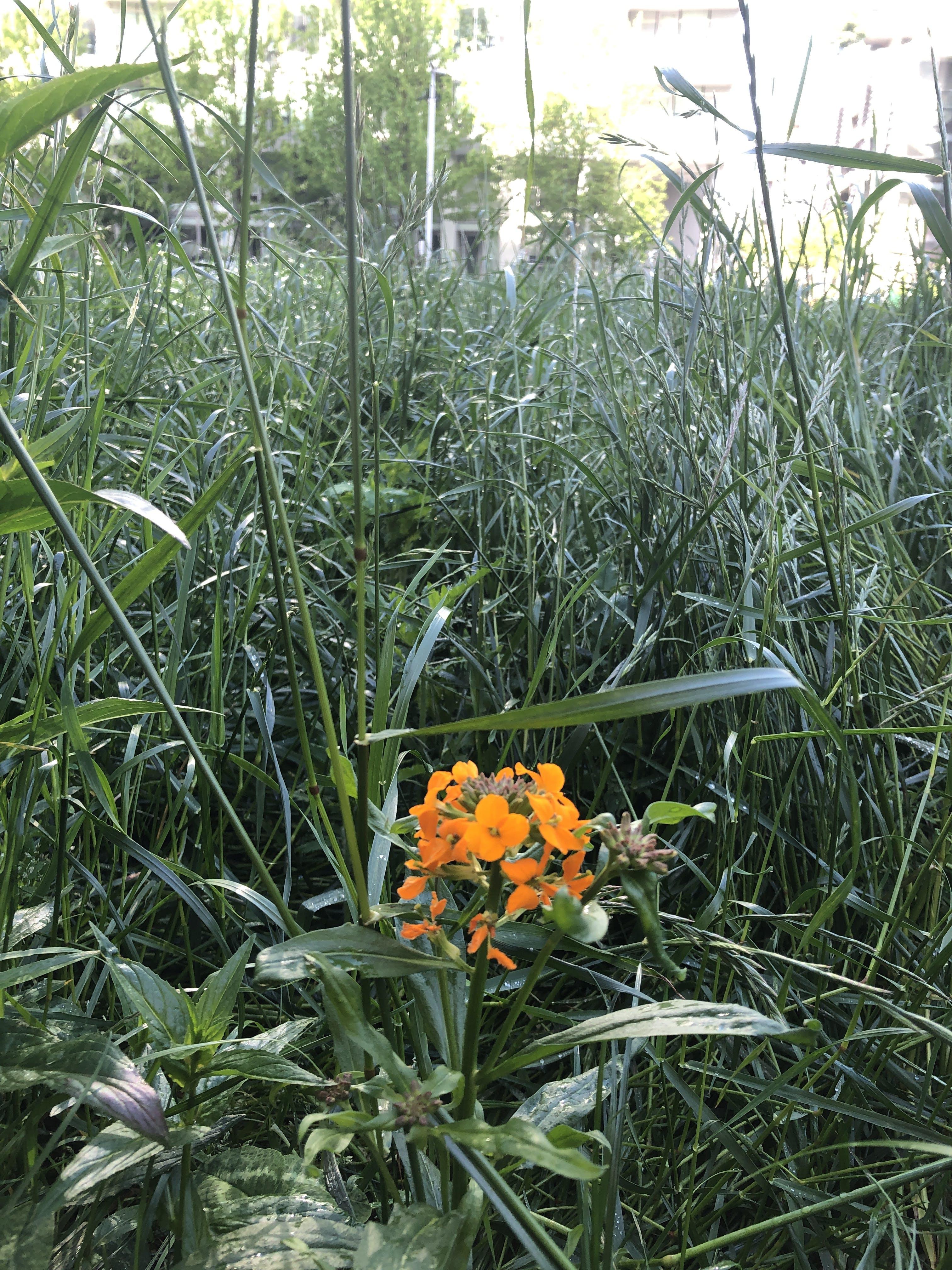 April 27, 2021 - Siberian Wallflower / Cheiranthus allionii