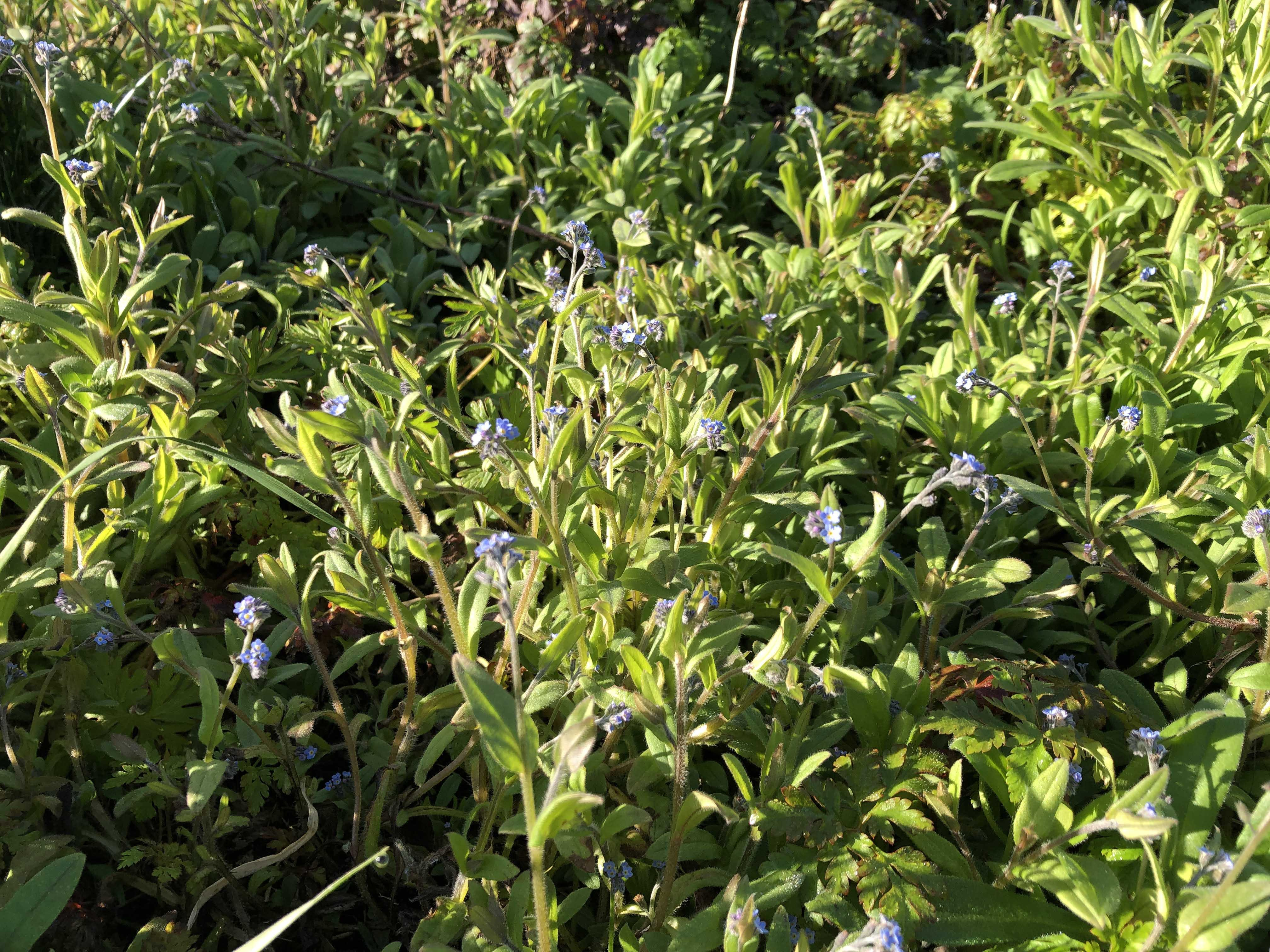 April 14, 2021 - Chinese Forget-Me-Not / Cynoglossum amabile