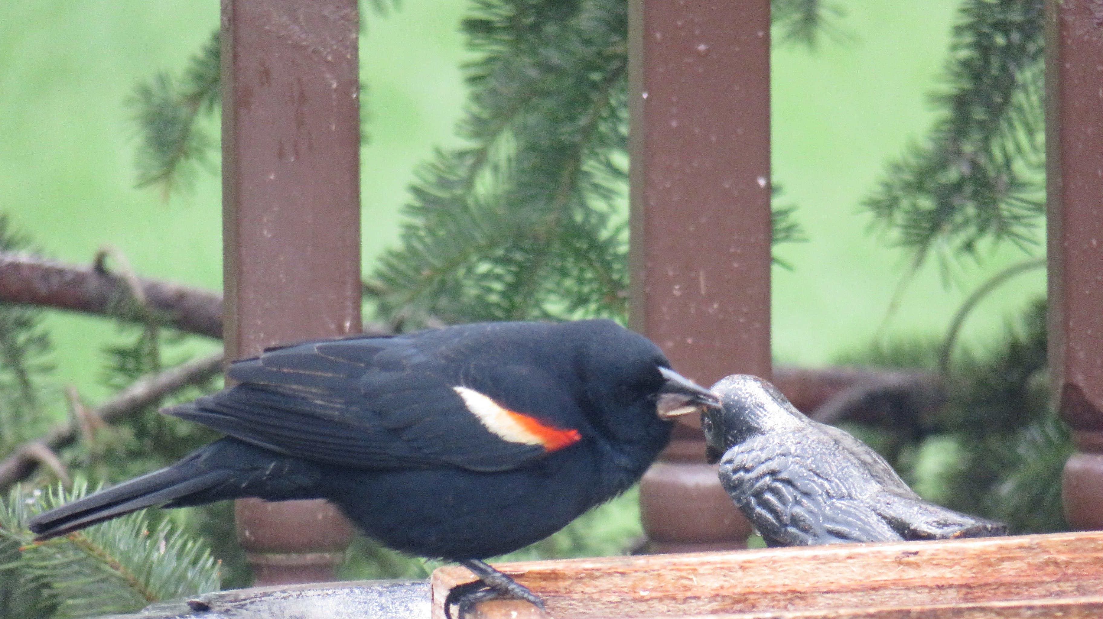 Red_Winged_Blackbird.JPG