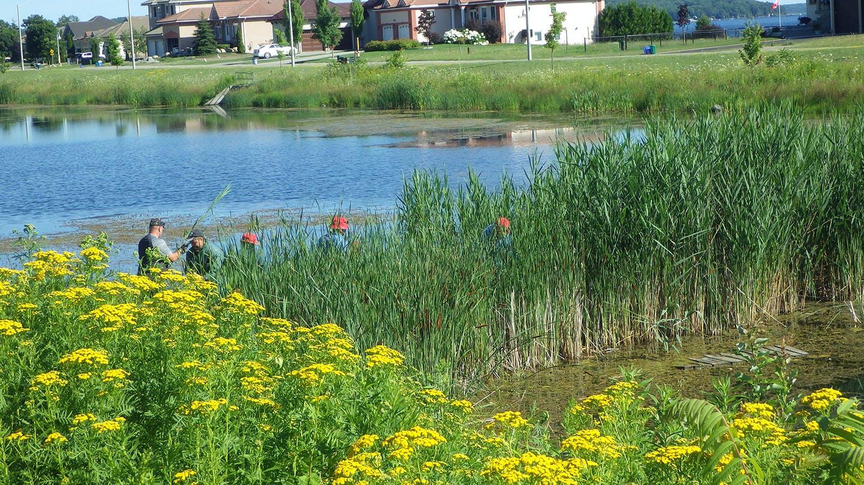 Invasive Phragmites removal at Tiffin Pond