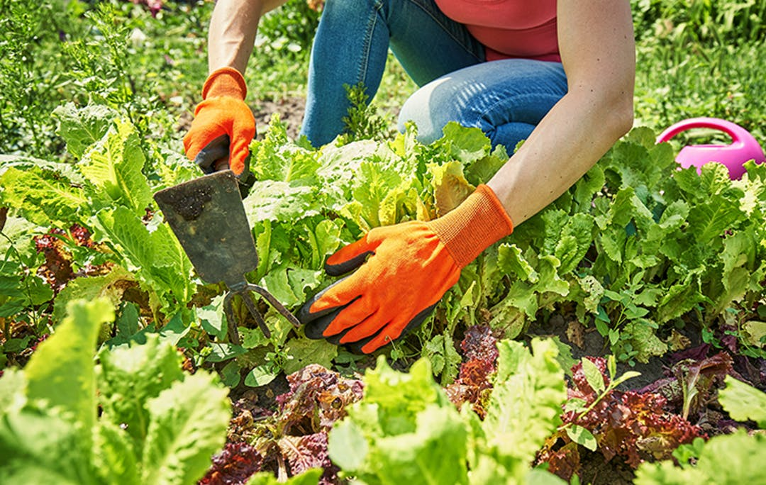 Woman wearing tank top, jeans and orange gardening gloves crouches down to use her combo fork/hoe hand tool to loosen soil around a variety of lettuces growing in a community garden.