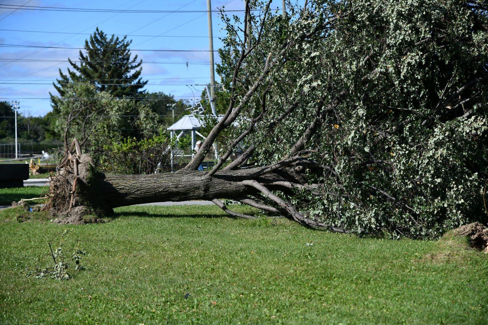 large fallen tree post tornado