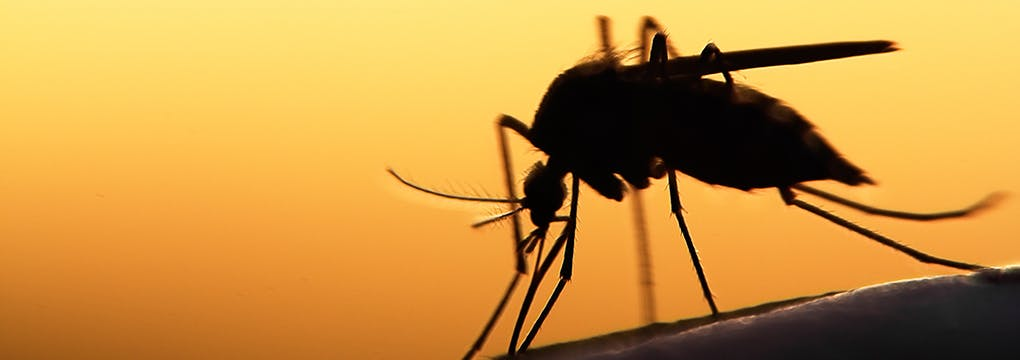 Mosquito silhouetted at dusk biting a person's arm