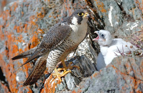 Peregrine at the nest