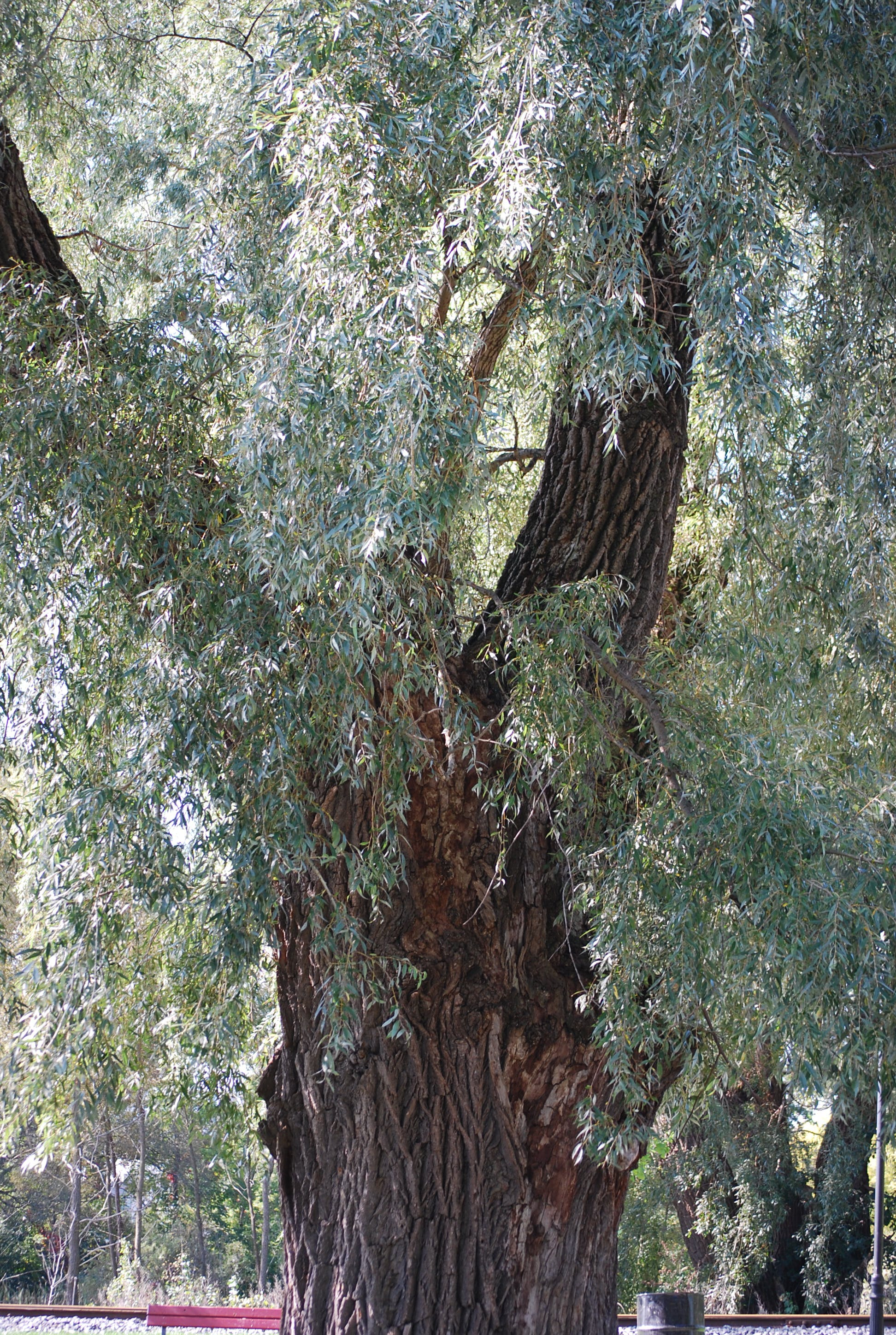 Waterloo Park Willow Tree