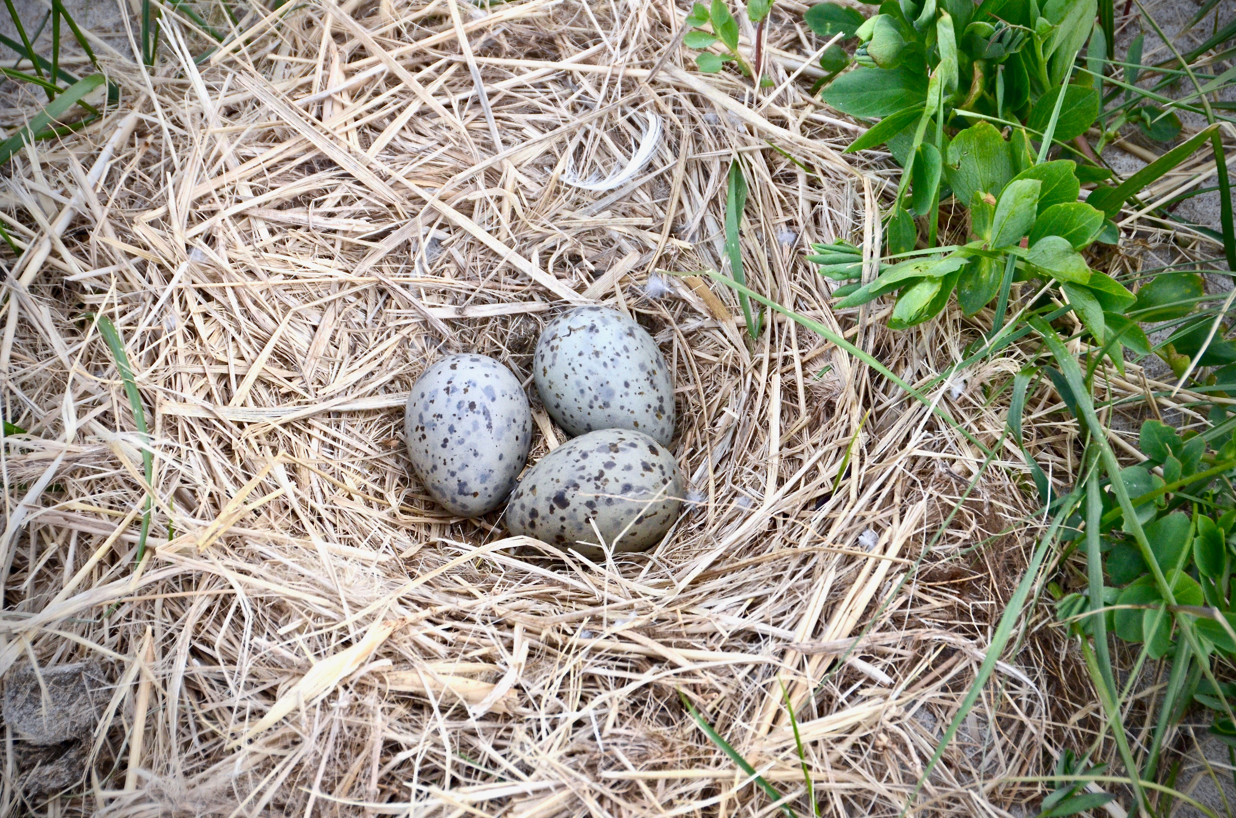 Great Black-backed Gull's Nest