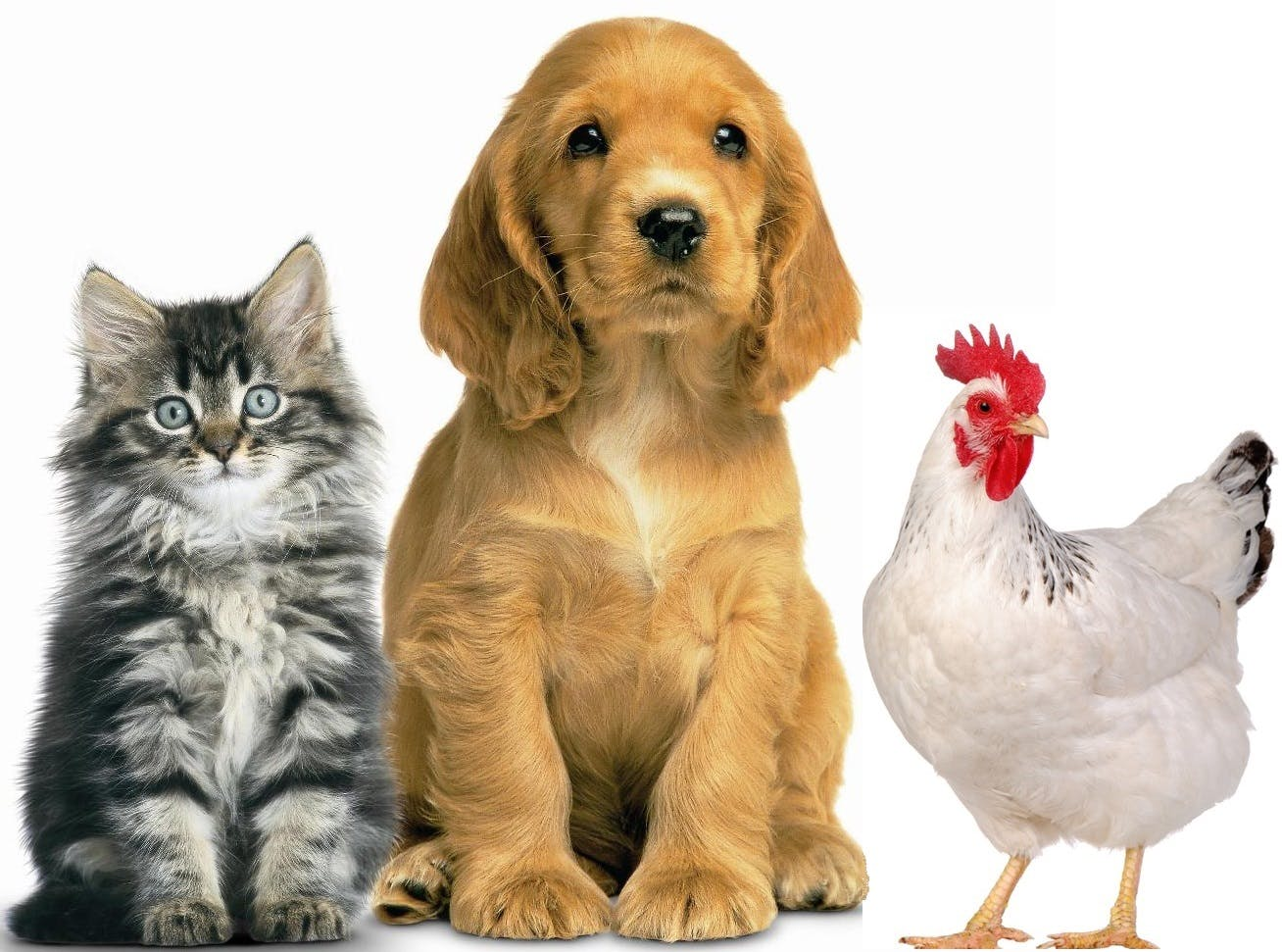 Picture of Cute Pets - Cat, Dog, Chicken