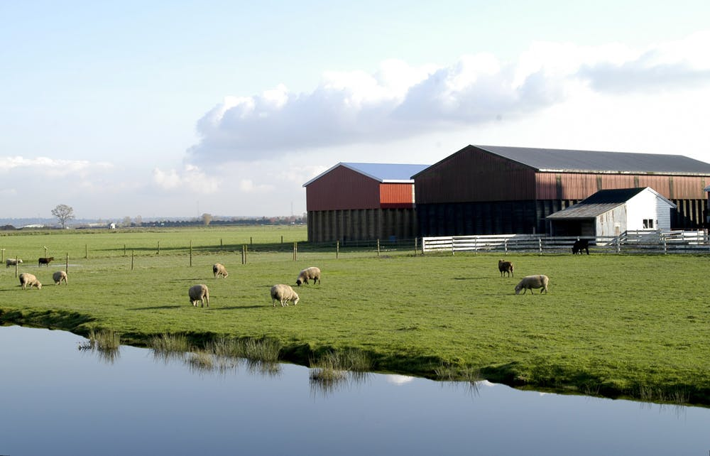 Sheep grazing in a field near a waterway with barns in the background