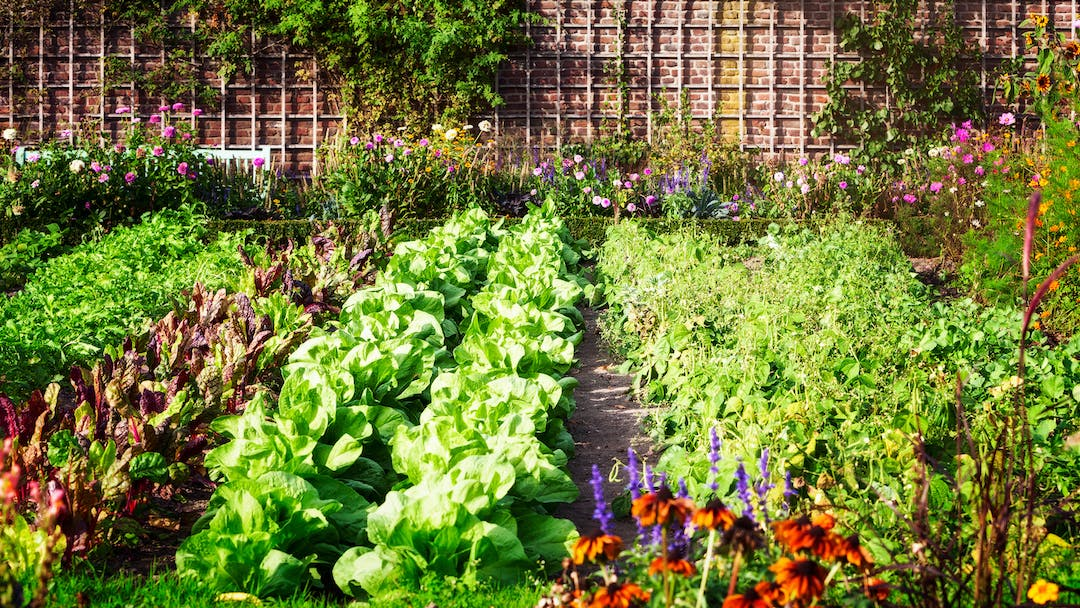 Beautiful, vibrant green rows of lettuce, chard, herbs and other salad vegetables and flowers.