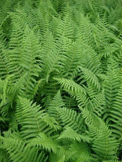 Green ferns3893